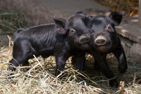 Connecticuts beardsley zoo baby guinea hog pigs 4
