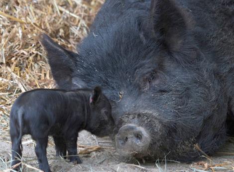 Connecticuts beardsley zoo baby guinea hog pigs 3