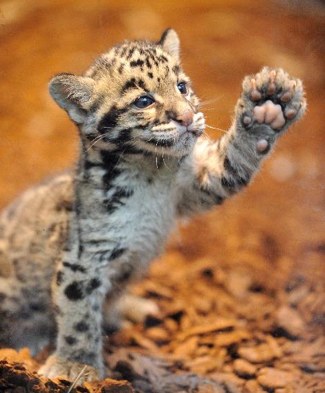 Clouded leopard cubs jardin des plantes 2 rs