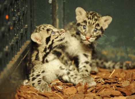 Clouded leopard cubs jardin des plantes 3 rs