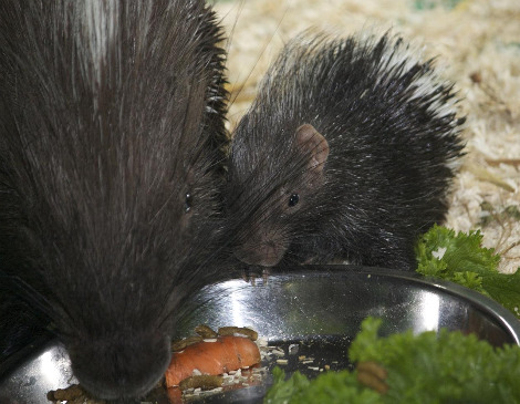 Newborn porcupine Pippa Credit Colm Farrington20