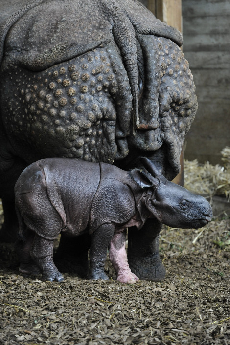 Baby rhino henna zoo basel white leg 1