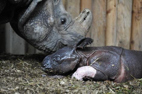 Baby rhino henna white leg zoo basel 3