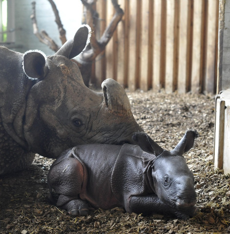 Baby rhino henna white leg zoo basel 6