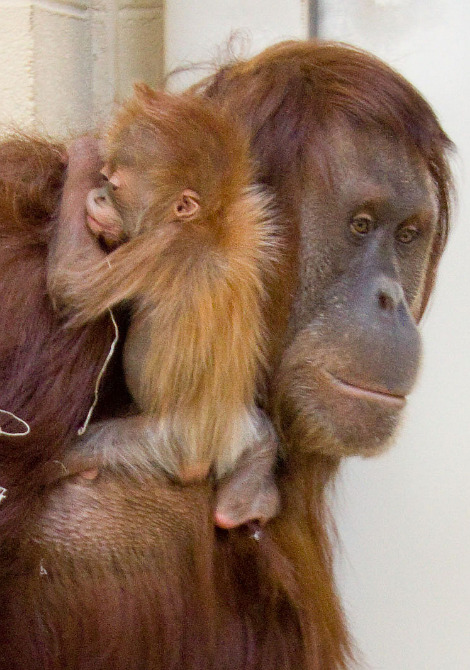 Baby orangutan denver zoo 1 rs