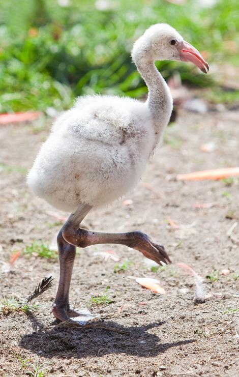 Baby-flamingo-solo