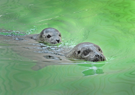Female-&-Pup-Harbor-Seals-#3--6-28-10_Tad-Motoyama-1124