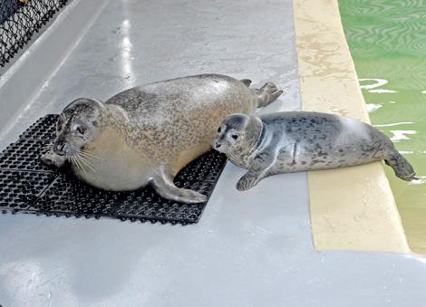 Harbor-Seal-Mom-&-Pup-#5--6-29-10_Tad-Motoyama-1268