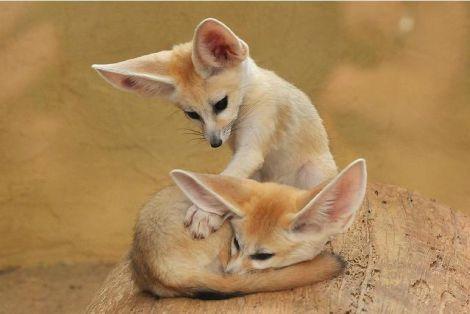 Fennec fox baby  zoo darmstadt
