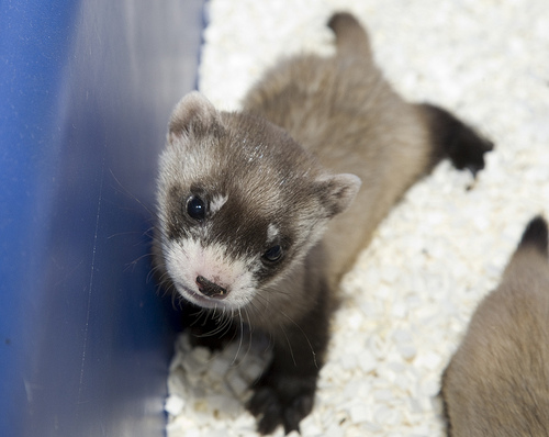 Baby black footed ferret kits smithsonian national zoo 1a