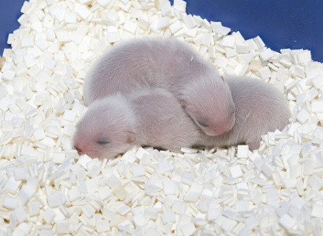 Baby black footed ferret kits smithsonian national zoo 1
