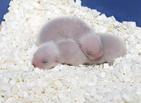 Newborn Baby Ferrets