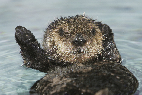 Baby sea otter 502 at moneterey bay aquarium
