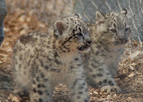 Baby snow leopard cubs Banham Zoo 2