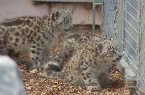 Baby snow leopard cubs Banham Zoo 3