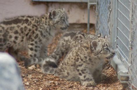Baby snow leopard cubs Banham Zoo 3