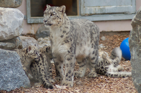 Baby snow leopard cubs Banham Zoo 4