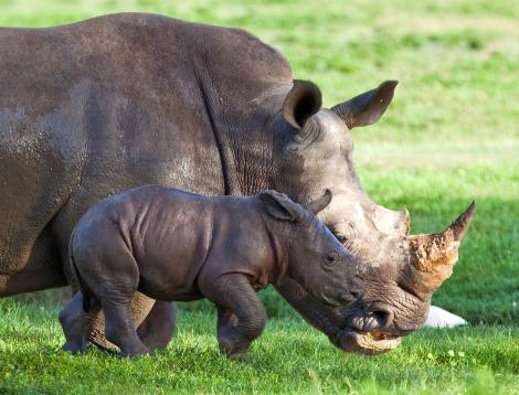 Baby rhino busch gardens tampa bay 3a