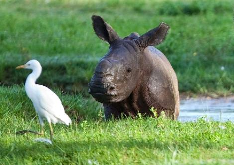 Baby rhino busch gardens tampa bay 2a