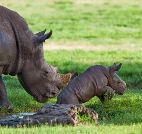 Baby rhino busch gardens tampa bay 4