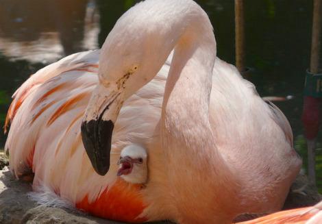 Flamingo chick franklin park zoo 3