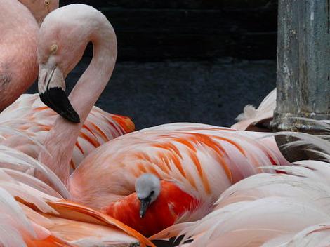 Flamingo chick franklin park zoo 5