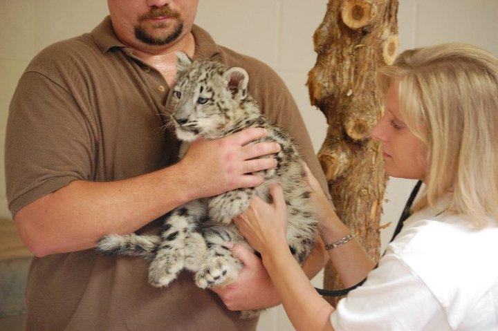 Snow leopard cubs oklahoma city zoo 2