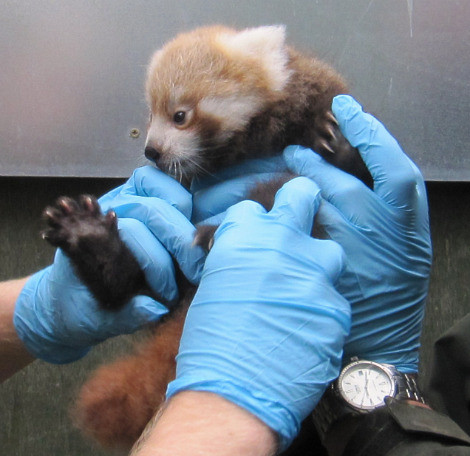Red Panda Cub Edinburgh Zoo 1