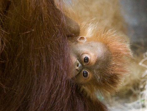 Hesty the baby orangutan at denver zoo 1
