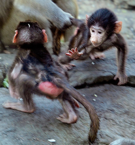 _julie-larsen-maher-0276-hamadryas-baboon-babies-PPZ-8-26-10[1]a