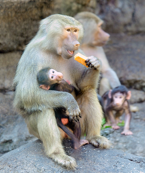 _julie-larsen-maher-0174-hamadryas-baboon-babies-PPZ-8-26-10
