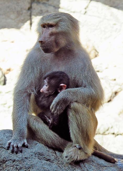 _julie-larsen-maher-0263-hamadryas-baboon-babies-PPZ-8-26-10