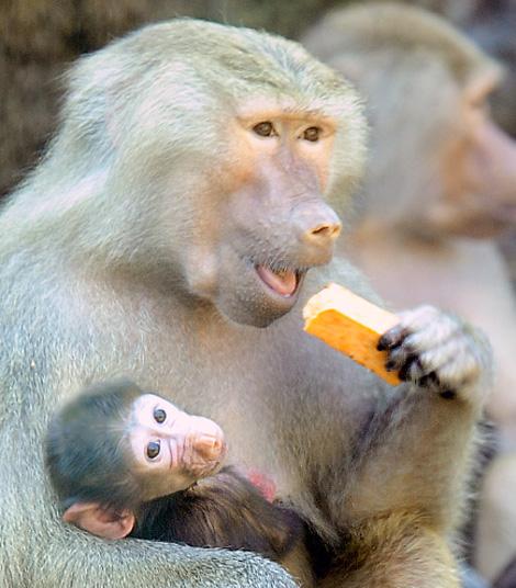_julie-larsen-maher-0174-hamadryas-baboon-babies-PPZ-8-26-10a