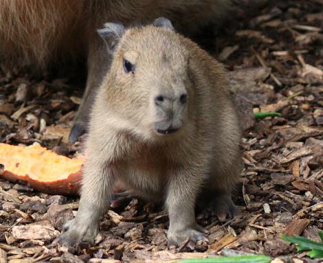 Baby capybara Paignton Zoo 1