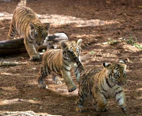 Tiger cubs denver zoo 1
