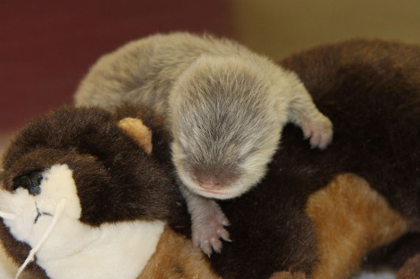 Asian small clawed otter pup longleat 1c