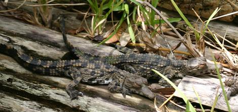 St-augustine-croc-babies-4
