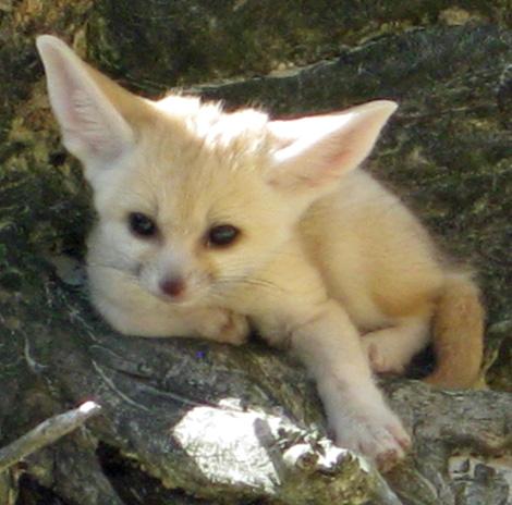 Fennec-Cubs-3