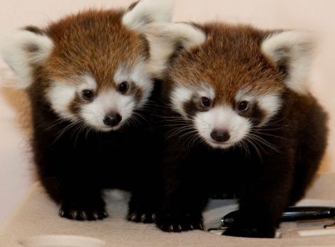 Red panda cubs assiniboine park zoo 1b
