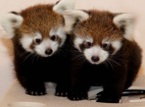 Red panda cubs assiniboine park zoo 1b