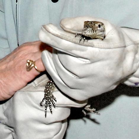 Betty-White-&-Ian-Recchio-with-a-Komodo-Dragon-at-the-L.A.-Zoo-9-14-10-by-Tad-Motoyama