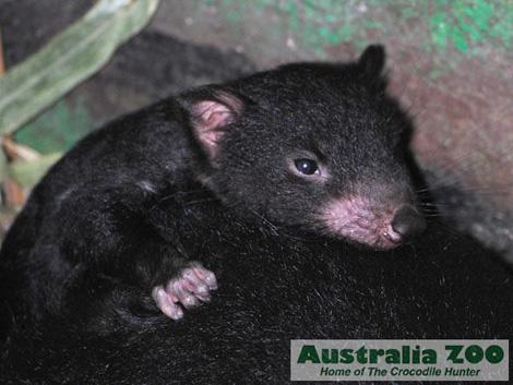 Tasmanian-devil-australia-zoo2