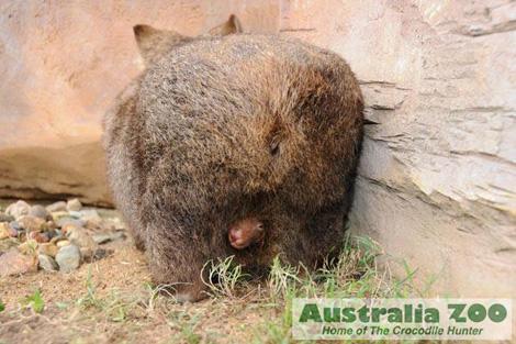 Wombat-australia-zoo