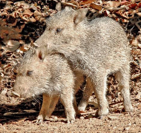 Baby peccary piglets los angeles zoo 1b