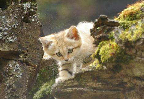 Baby sand cat kitten parken zoo 1