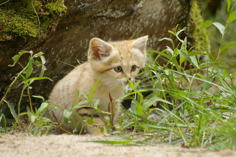 Baby sand cat kitten parken zoo 2