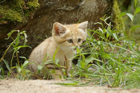 Baby sand cat kitten parken zoo 2