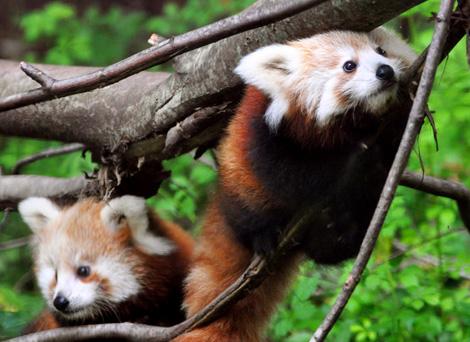 Binder-park-red-panda4