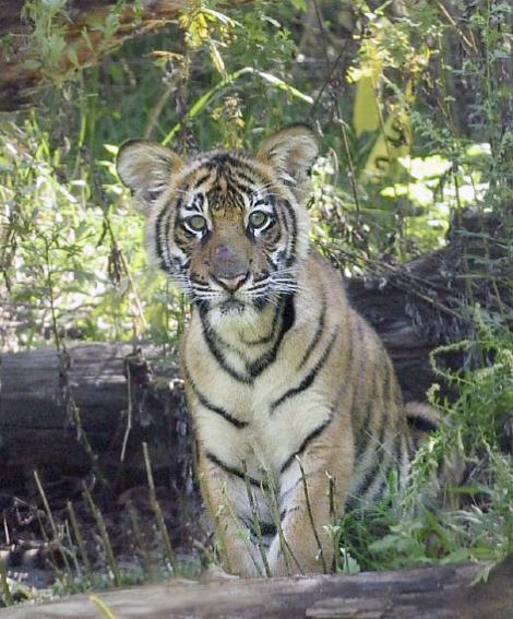 Malayan Tiger Cubs Bronx Zoo 1b