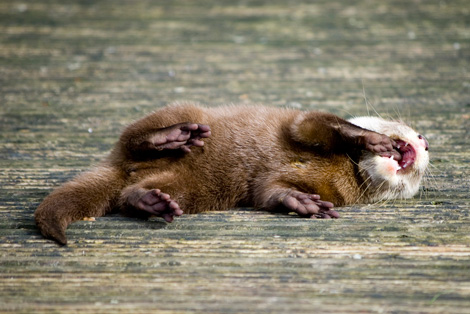 Otter-from-blackpool-2